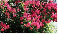 중구의 꽃:백일홍 이미지