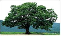 중구의나무:느티나무 이미지
